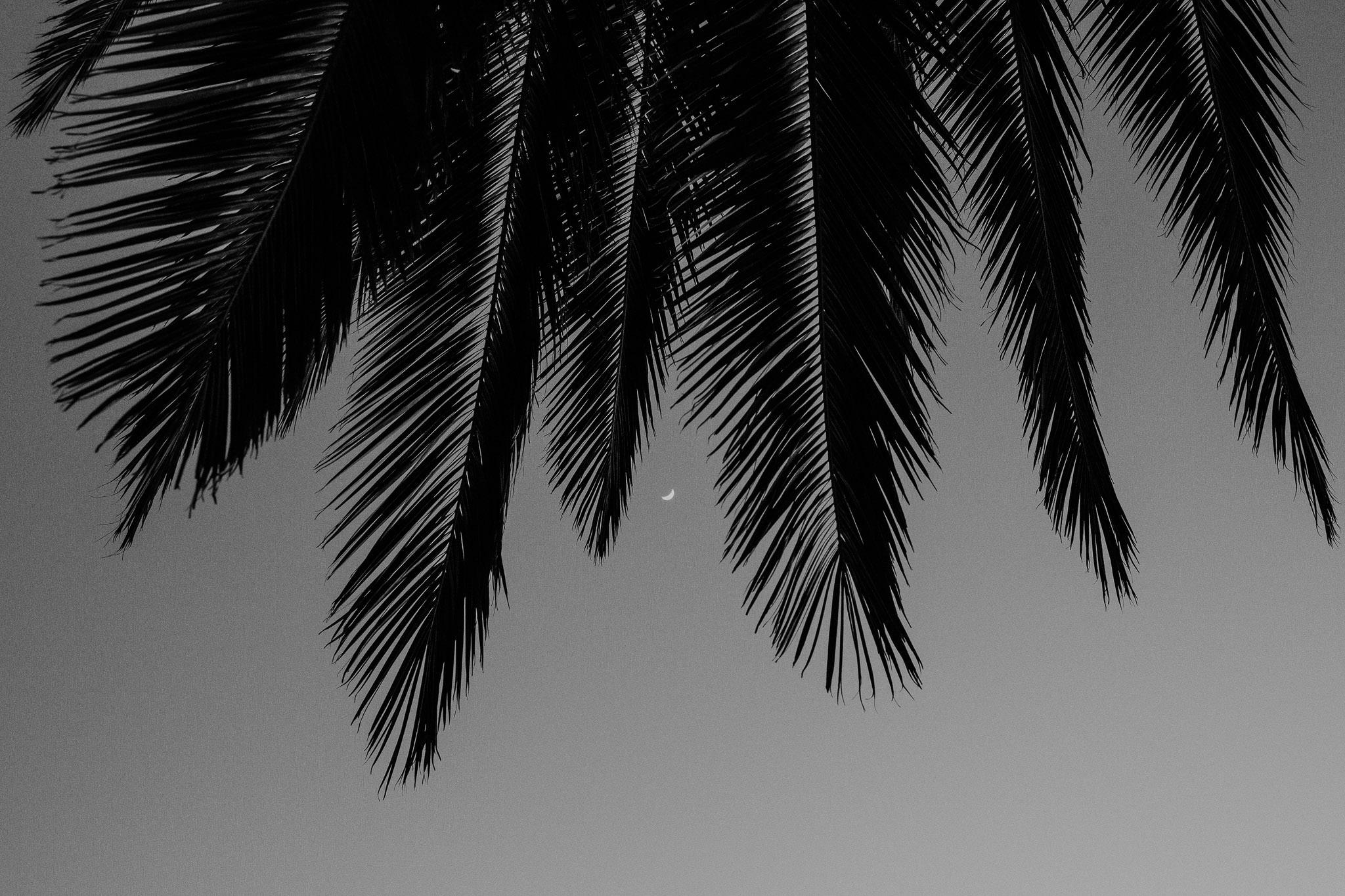 Moon through a Benicia Palm